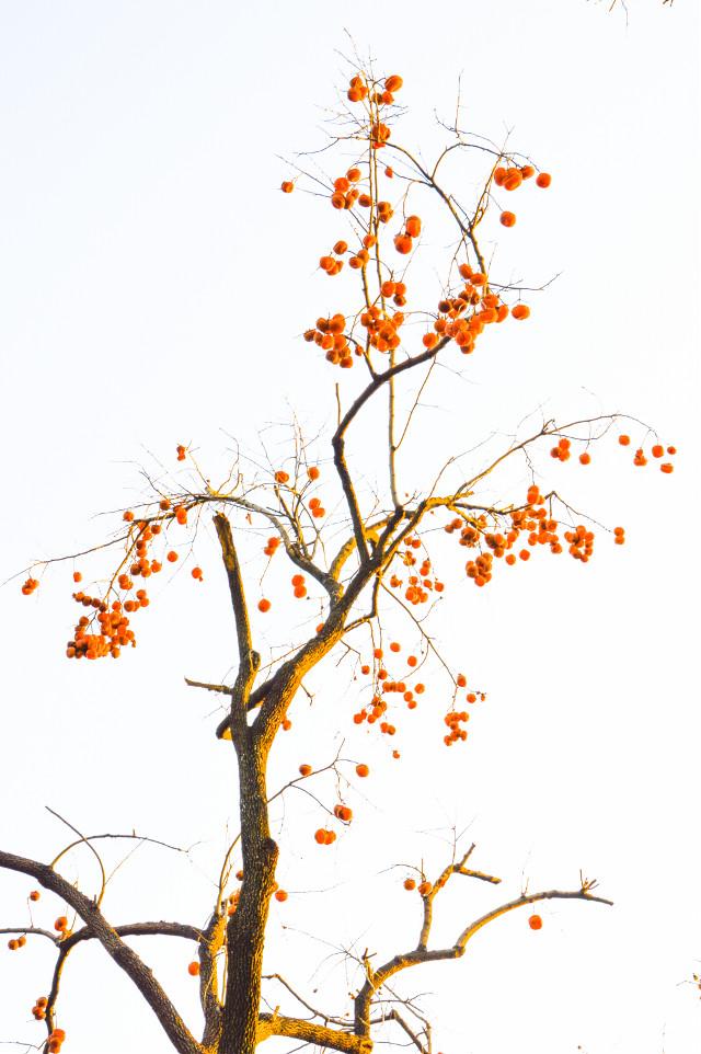 #persimmon #yelow #tree #park #beijing