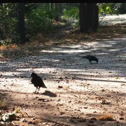raven crows
