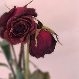 freetoedit dead red roses valentinesday2017