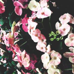 dramaeffect lightcross flowers pink white