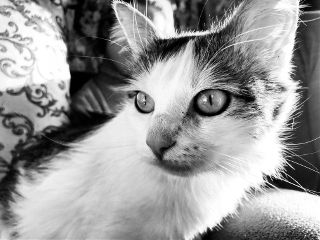 cat animals blackandwhite petsandanimals