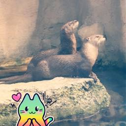 freetoedit otter cute adorable catstickers